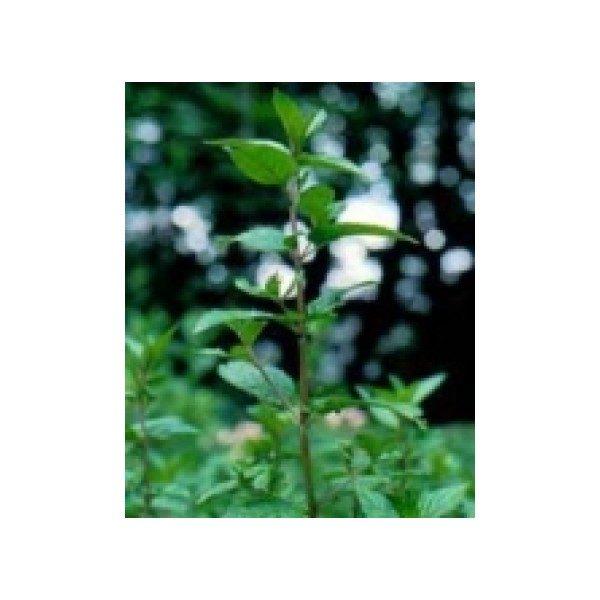 MUŇA MUŇA 50 g, čaj, sušená mletá bylina